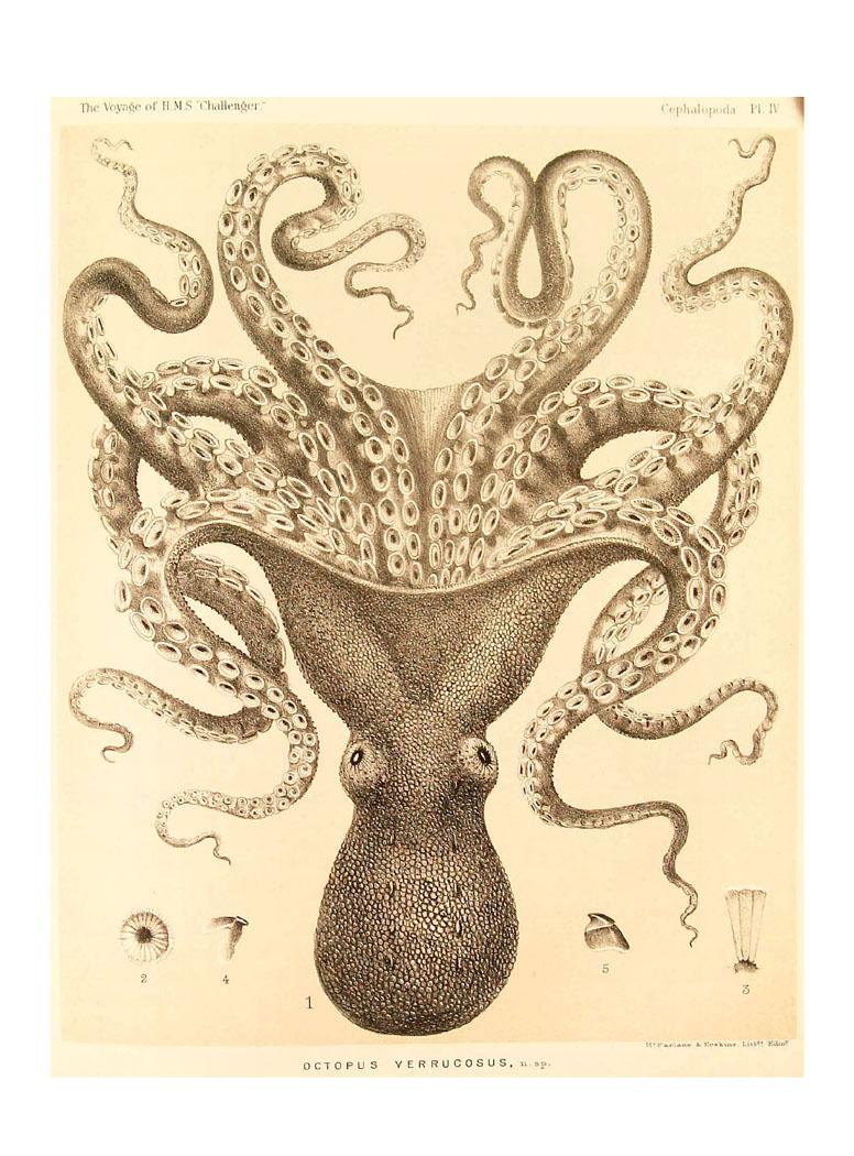Bio Geo Nerd: Giant Pacific Octopus